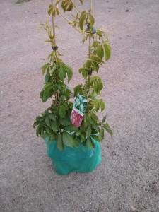Parthenocissus inserta (vitacea)
